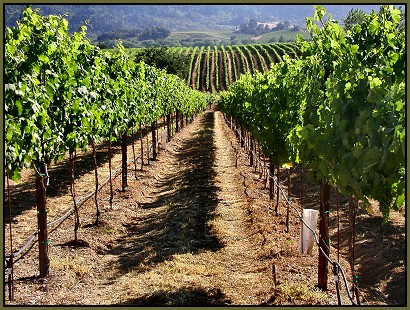 The Wolcott Vineyard, Dry Creek Valley, Sonoma County, California
