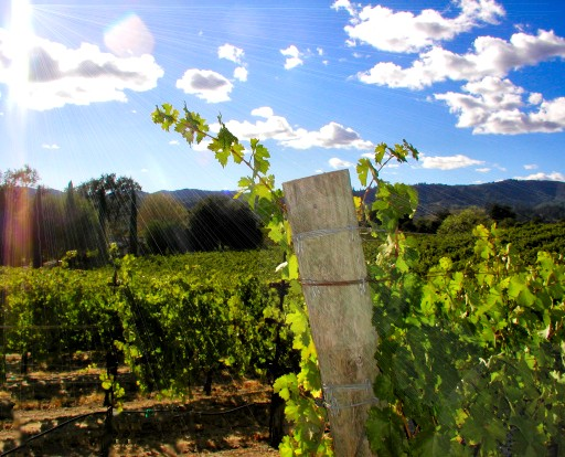 Wolcott Vineyard, Dry Creek Valley, Sonoma County, California